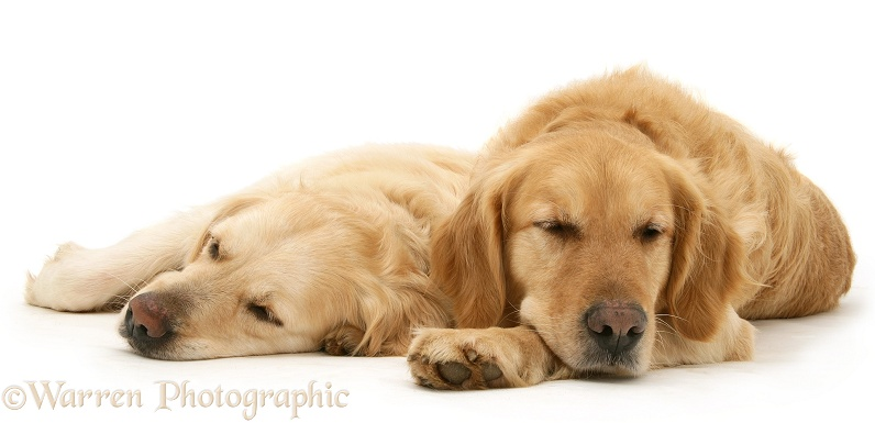 Sleepy Golden Retriever bitch and dog, Lola and Barney, white background
