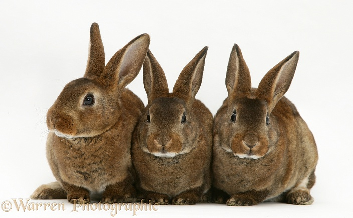 Three brown Rex rabbits, white background