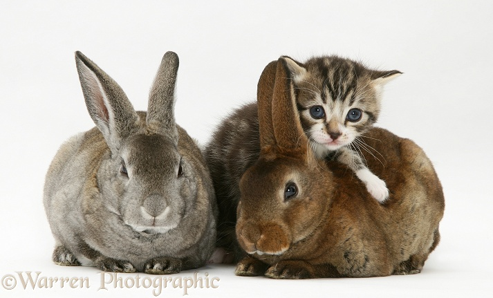Tabby kitten and two rabbits, white background