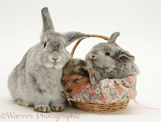 Young silver Lop rabbit with Miniature Dachshund pup and baby silver Lop rabbit asleep in a basket, white background