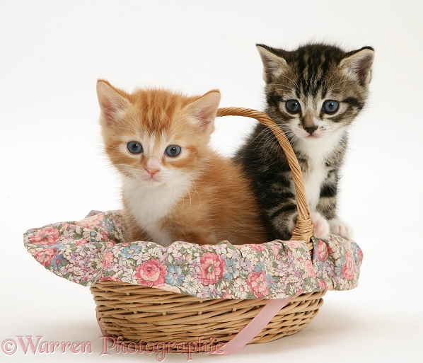 Tabby and ginger kittens in a wicker basket, white background