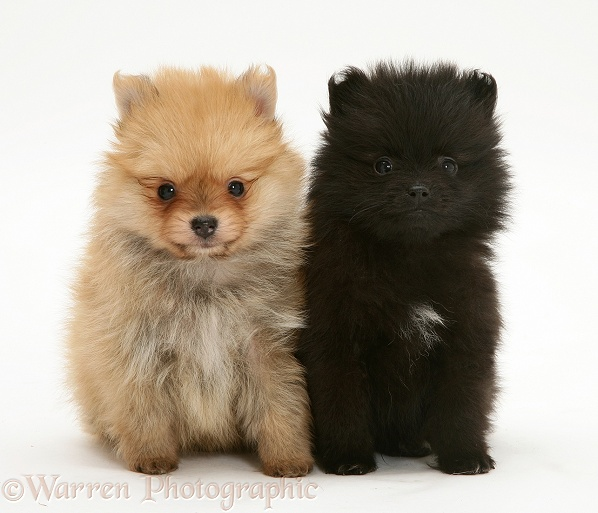 Two Pomeranian pups, white background