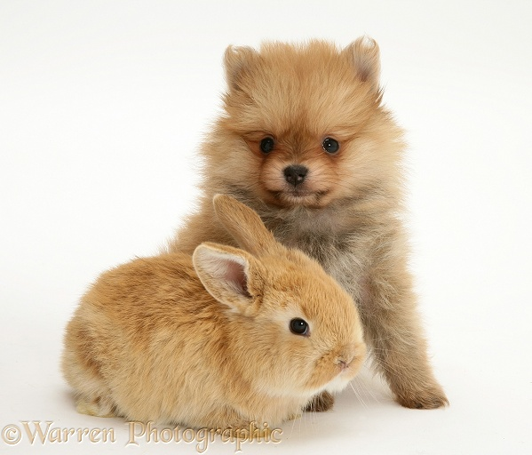 Pomeranian puppy with baby sandy Lop rabbit, white background