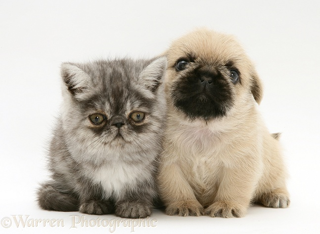Exotic kitten and Pugzu (Pug x Shih-Tzu) pup, white background