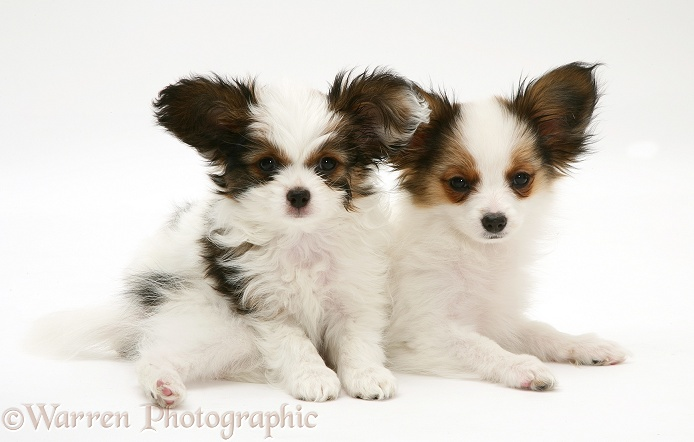 Playful Papillon pups, white background