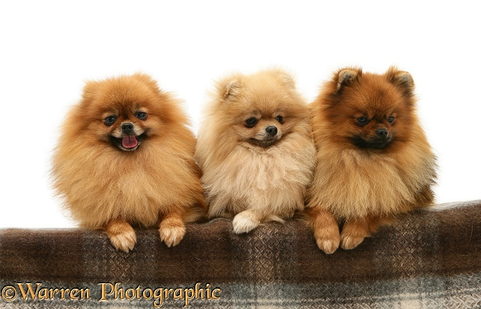 Three Pomeranians with paws over, white background
