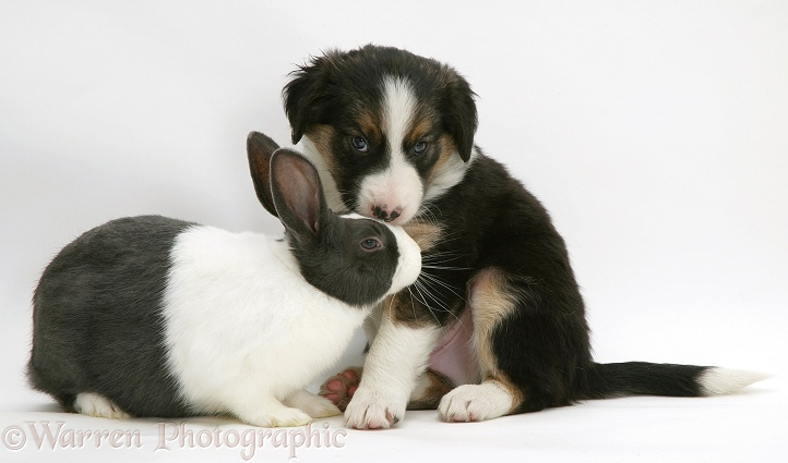 Tricolour Border Collie pup with blue Dutch rabbit photo - WP22097