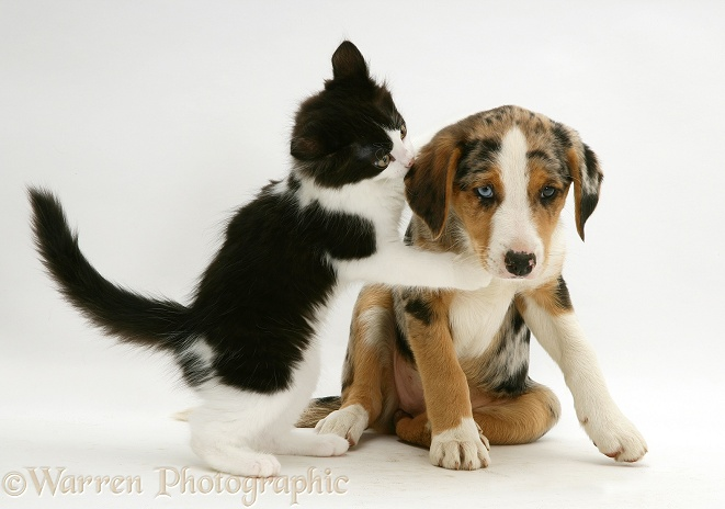 Black-and-white Nancy kitten with merle Border Collie pup, Kylie, 8 weeks old, white background