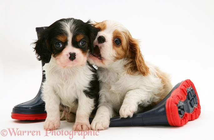 Tricolour and Blenheim Cavalier King Charles Spaniel pups with child's wellie boots, white background