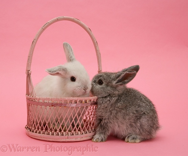 Silver baby rabbit and white baby rabbit in a basket
