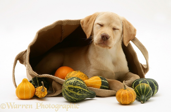 Sleepy Yellow Retriever in a bag of gourds, white background