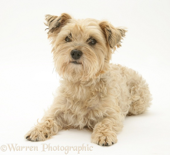 Cairn Terrier bitch, Maggot, lying with head up, white background