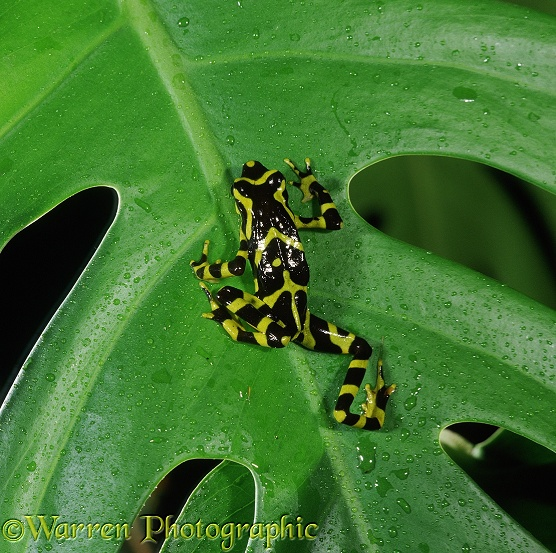 Arrow Poison Frog (Antelopus varia).  South America