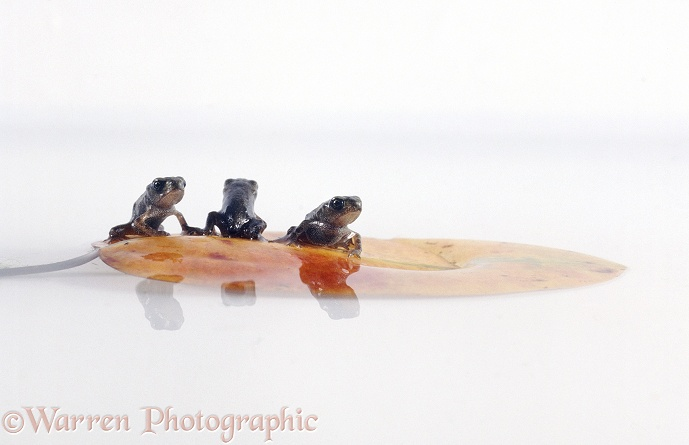 Newly-metamorphosed toadlets of Common Toad (Bufo bufo) resting on a floating leaf, white background