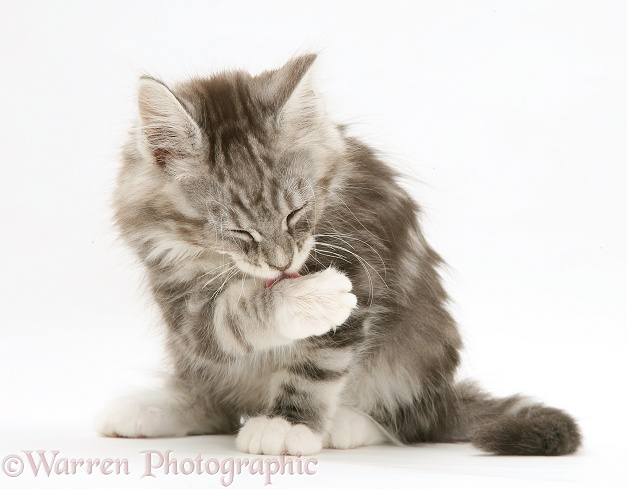 Tabby Maine Coon kitten washing, white background