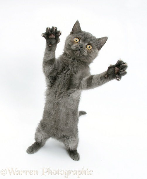 Grey kitten reaching out, white background