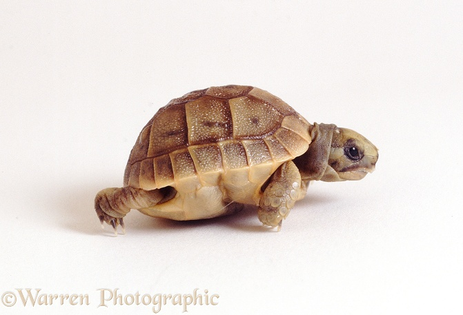 Spur-thighed Tortoise (Testudo graeca) newly-hatched from the egg (still soft-shelled and with folded plastron), white background