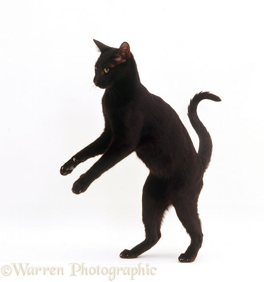 Black And White Cat On Hind Legs