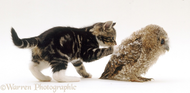 Kitten playing with Tawny Owl (Strix aluco) chick, white background