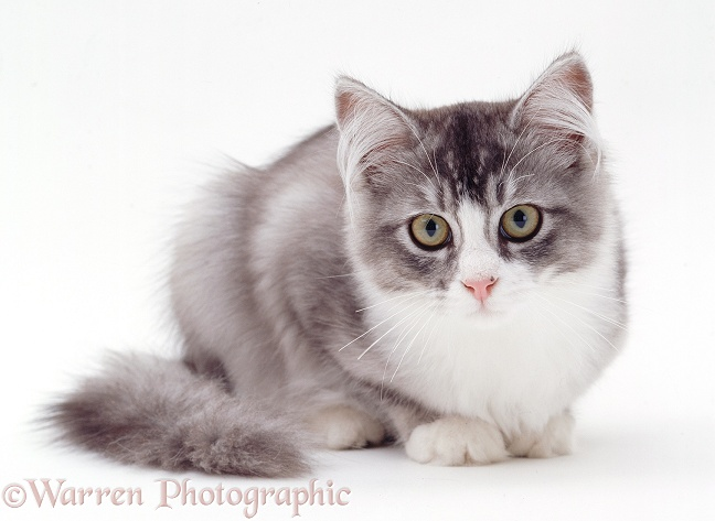Grey-and-white cat, white background