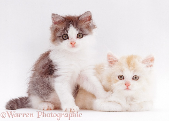Two cute kittens, 5 weeks old, white background