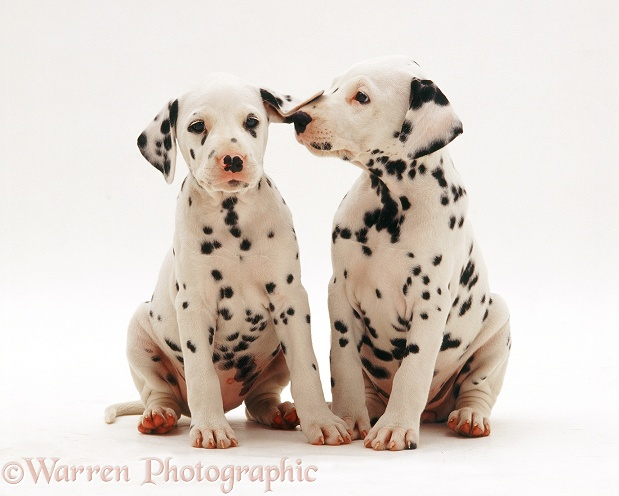 Two Dalmatian pups, white background