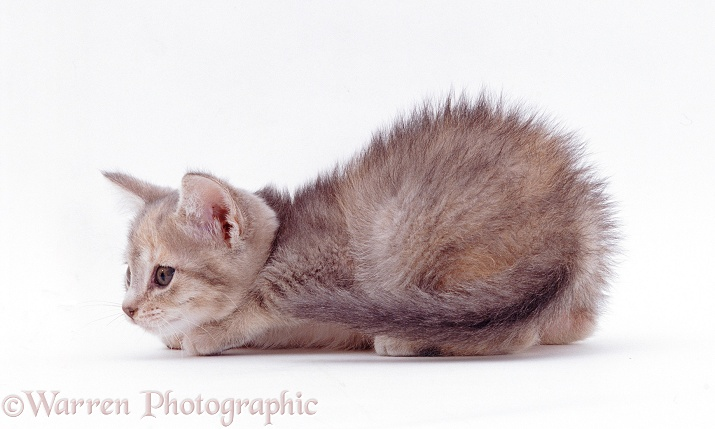 Grey kitten, stalking, white background