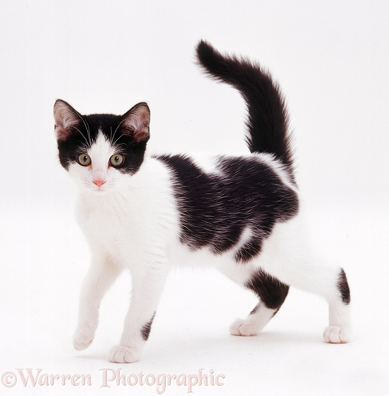 Black-and-white kitten, 8 weeks old, white background
