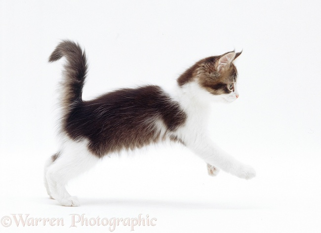 Brown-and-white kitten pouncing, white background