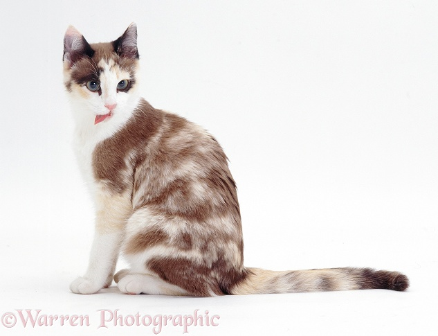 Chocolate-tortoiseshell-and-white cat, Cookie, 5 months old, licking lips after washing paw, white background