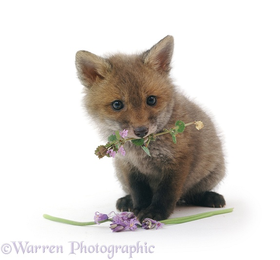 Cute little Red Fox (Vulpes vulpes) cub holding a flower, white background