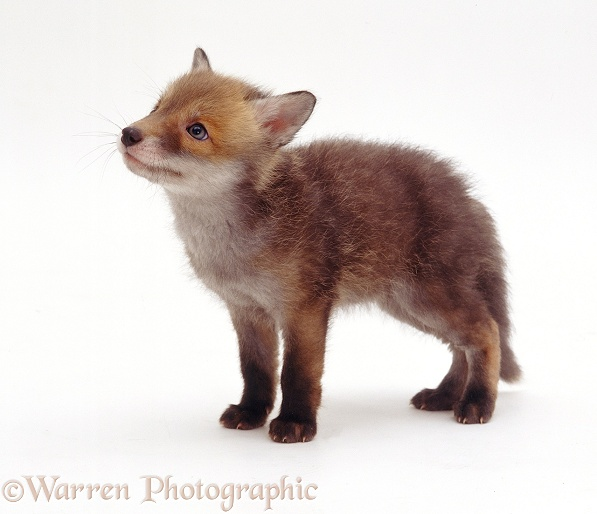 Red Fox (Vulpes vulpes) cub, 7 weeks old, white background