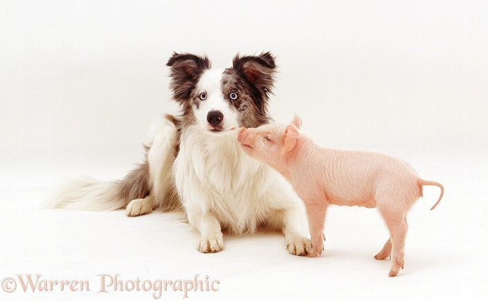 Middle White Piglet and blue merle Border Collie, Cecil, 9 months old, white background
