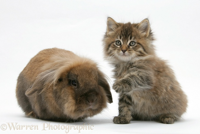 Maine Coon kitten, 7 weeks old, and Lionhead rabbit, white background