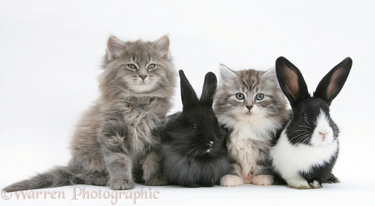 Maine Coon kittens, 8 weeks old, with baby Dutch x Lionhead rabbits, white background