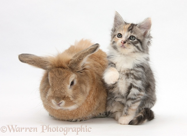 Sandy rabbit and tabby tortoiseshell Maine Coon-cross kitten, 7 weeks old, white background