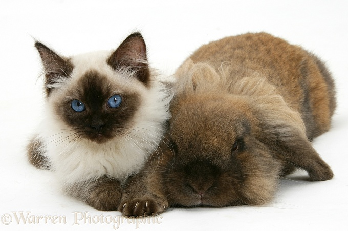 Ragdoll kitten, 12 weeks old, with Lionhead rabbit, white background