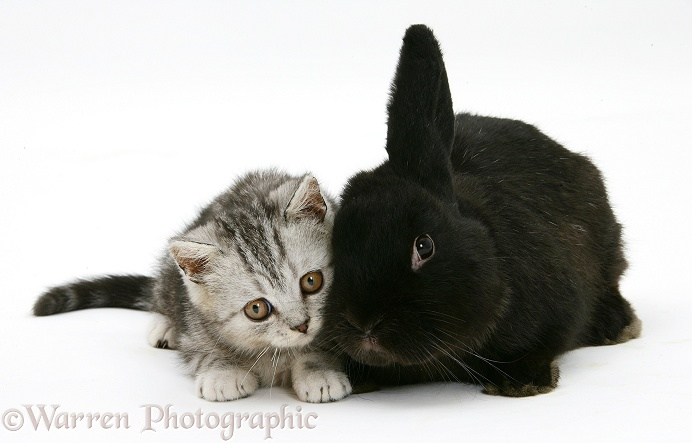 Silver tabby kitten and black rabbit, white background