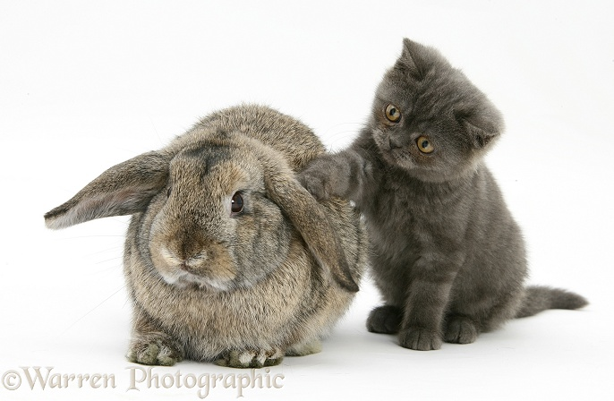 Grey kitten and agouti lop rabbit, white background