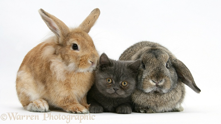 Grey kitten with sandy Lionhead-cross rabbit and agouti Lop rabbit, white background