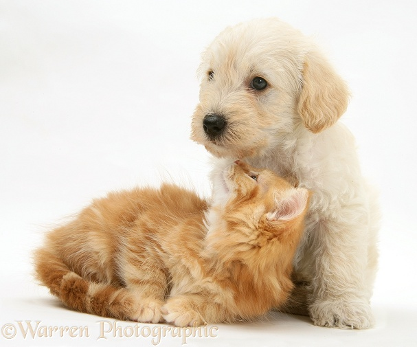 Woodle (West Highland White Terrier x Poodle) pup and ginger Maine Coon kitten, white background