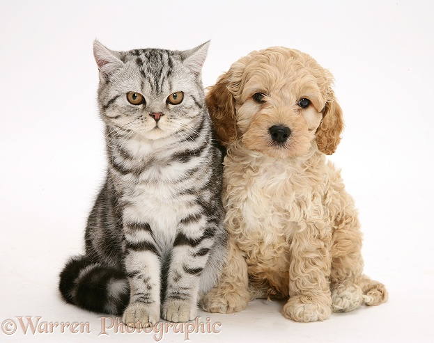 Silver tabby cat with American Cockapoo puppy, white background