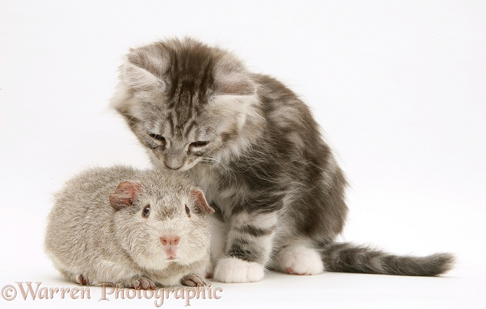 Young silver Lop rabbit with silver tabby Maine Coon kitten, 8 weeks old, white background