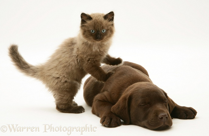 Chocolate Labrador Retriever pup with chocolate Birman-cross kitten, white background