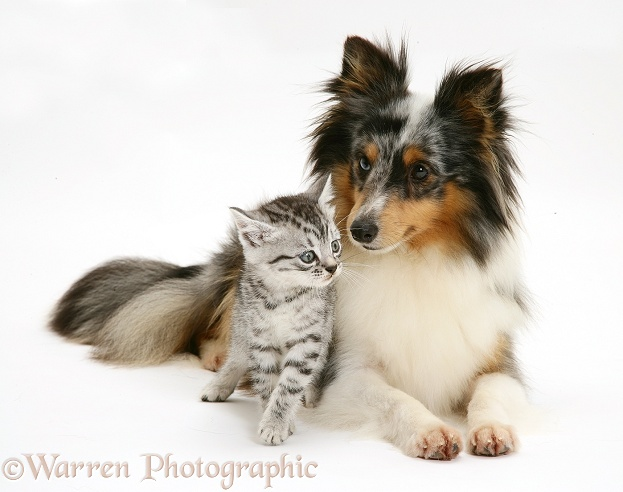 Tabby kitten with merle Shetland Sheepdog bitch, Sapphire, white background