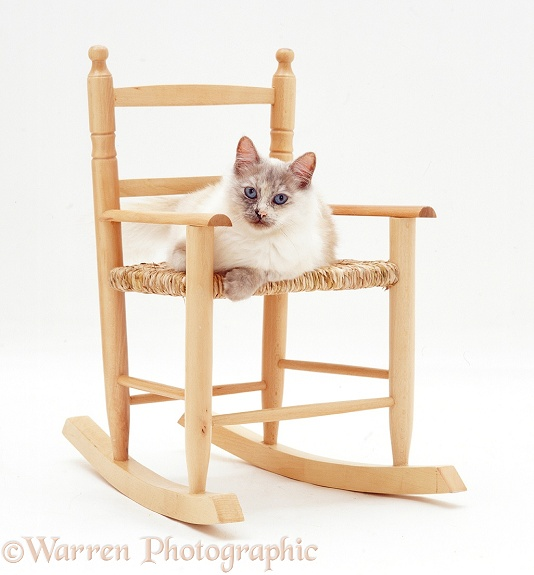 Tortie point Birman cat, Tallulah, sitting on a chair, white background