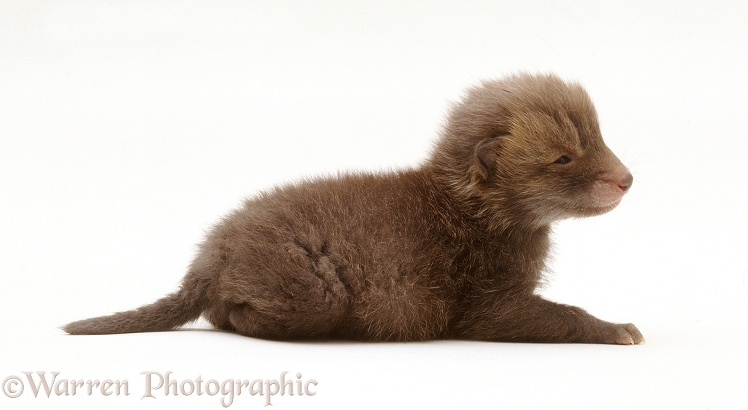 Red Fox (Vulpes vulpes) cub, white background