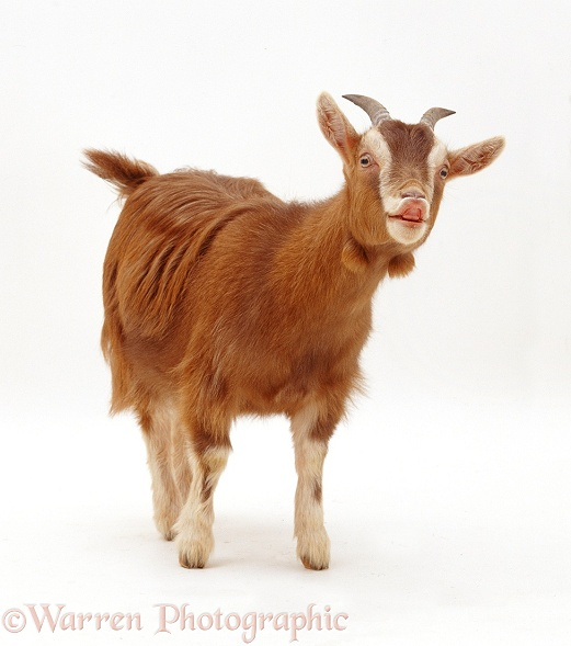 Pygmy x Toggenburg goat, flehmen, white background