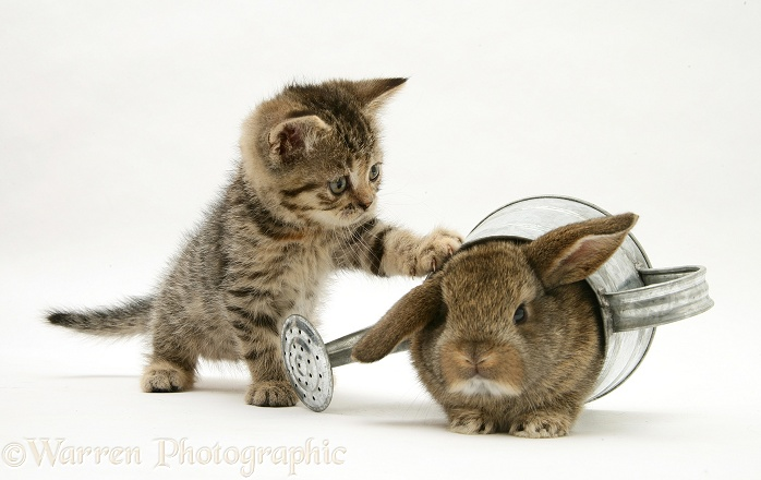 Tabby kitten with young rabbit in a watering can, white background