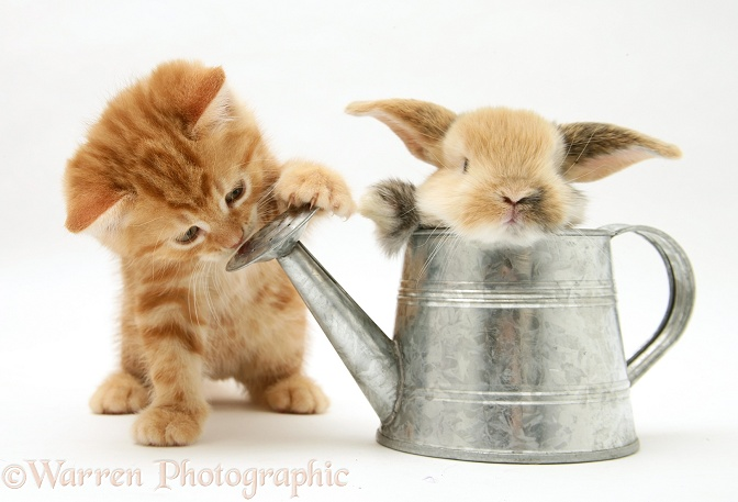 Ginger kitten with young rabbit in a watering can, white background